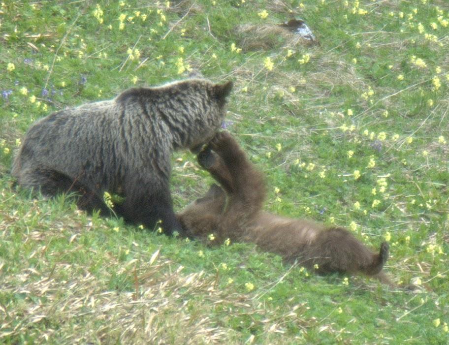 Humanbear Relation - 32 bears decided try human